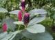 Лаконос американский - Phytolacca americana L